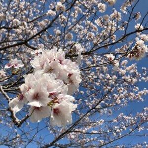 四万十川近郊 2021桜
